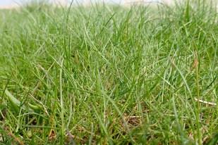 Das erste Grün des Rotschwingels (Festuca rubra; Foto: Jonas Kotlarz)