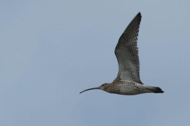 Großer Brachvogel (Numenius arquata) fliegt über die Insel Trischen (Foto: Jonas Kotlarz)
