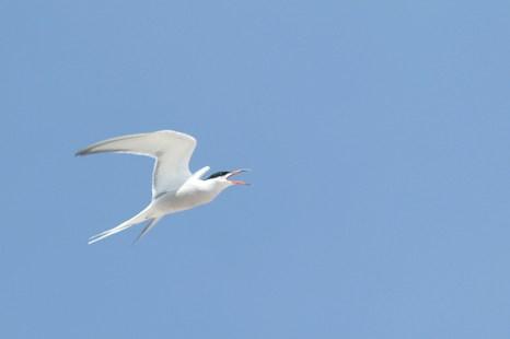 Rufende Flussseeschwalbe (Sterne hirundo; Foto: Jonas Kotlarz)