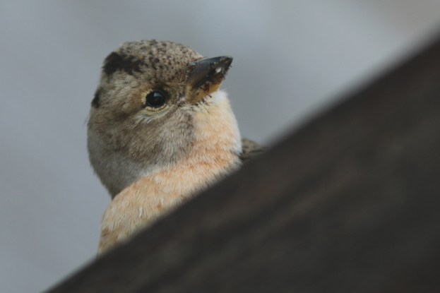 Neugieriger Bergfink (Fringilla montifringilla) auf der geöffnete Hüttentür (Foto: Jonas Kotlarz)