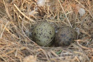 Nest eines Silbermöwen-Paares (Larus argentatus; Foto: Jonas Kotlarz)