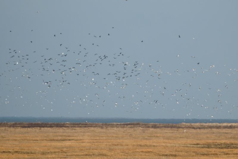 Große Aufruhr wenn der Seeadler jagt (Foto: Jonas Kotlarz)