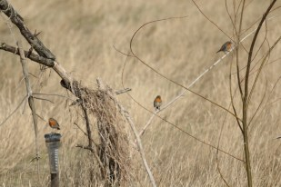 Rotkehlchen (Erithacus rubecula) bevölkern das Hüttenumfeld (Foto: Jonas Kotlarz)