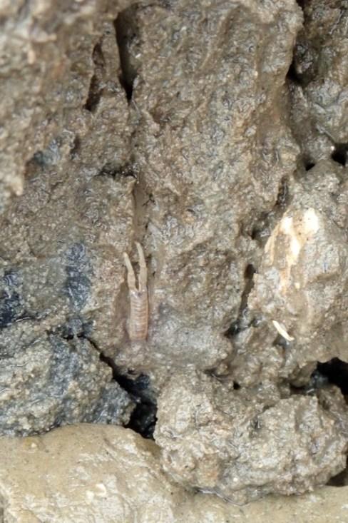 Schlickkrebs (Corophium volutator) in seinem Gang (Foto: Jonas Kotlarz)