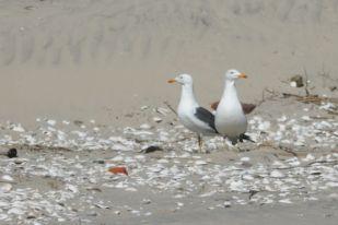 Heringsmöwen-Paar (Larus fuscus) am Strand (Foto: Jonas Kotlarz)