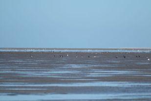Vögel im Watt (Foto: Jonas Kotlarz)