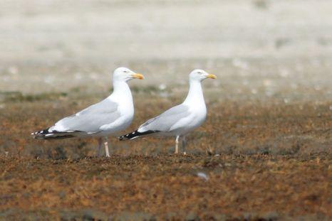 Silbermöwen-Paar (Larus argentatus), Männchen links, Weibchen rechts (Foto: Jonas Kotlarz)