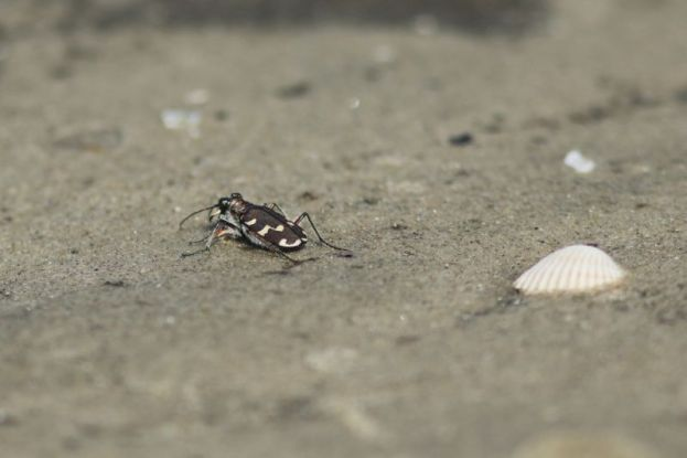 Küsten-Sandlaufkäfer (Cicindela maritima, Foto: Jonas Kotlarz)