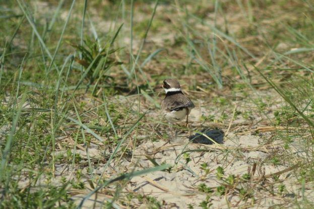 Das Sandregenpfeifer Weibchen (Charadrius hiaticula) verleitet auf dem Trampelpfad (Foto: Jonas Kotlarz)