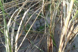 Gut versteckt, ein Sandregenpfeifer Nest (Charadrius hiaticula) direkt am Dünenübergang (Foto: Jonas Kotlarz)