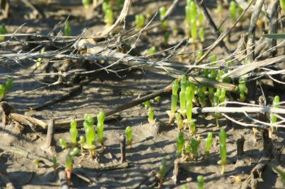 Queller (Salicornia spec.; Foto: Jonas Kotlarz)