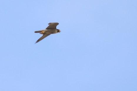 Weiblicher Wanderfalke (Falco peregrinus; Foto: Jonas Kotlarz)