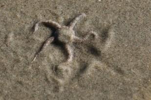 Schlangenstern im Westwatt (Foto: Jonas Kotlarz)