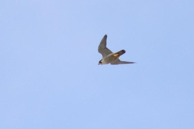 Das Männchen des Wanderfalken-Paares (Falco peregrinus) auf Trischen (Foto: Jonas Kotlarz)