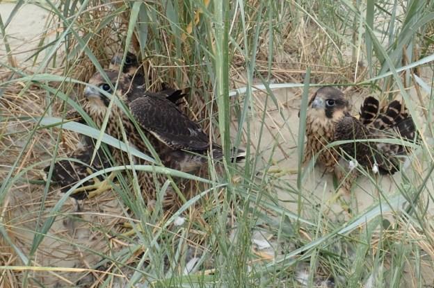 Nahezu flügge Wanderfalken (Falco peregrinus) am 03.06. an der Nord-Spitze (Foto: Jonas Kotlarz)