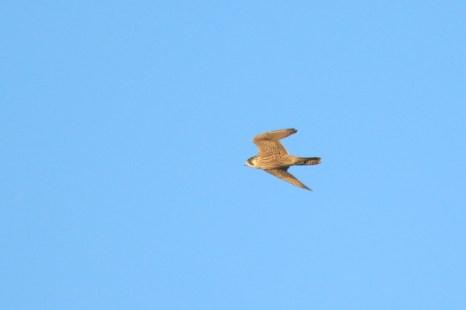 Flügger Wanderfalke (Falco peregrinus) auf Trischen (Foto: Jonas Kotlarz)