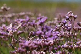 Strandflieder (Limonium vulgare; Foto: Jonas Kotlarz)