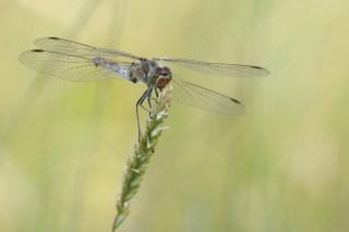 Gemeine Heidelibelle (Sympetrum vulgatum; Foto: Jonas Kotlarz)