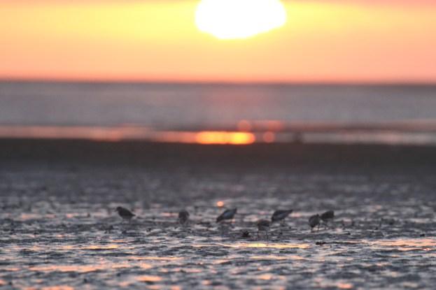 Sanderlinge (Calidris alba) im Sonnenuntergang (Foto: Jonas Kotlarz)