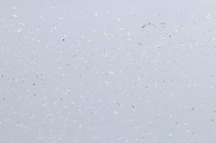 Die Wanderfalken (Falco peregrinus) stiften Unruhe (Foto: Jonas Kotlarz)