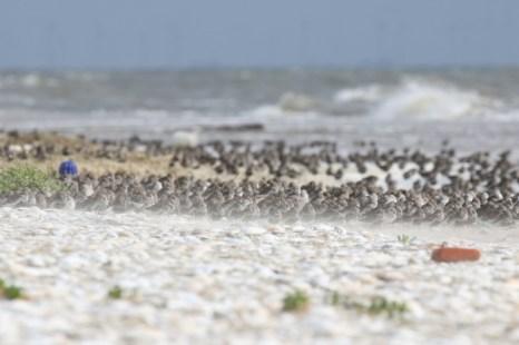Den am Südstrand rastenden Watvögeln weht der Sand entgegen (Foto: Jonas Kotlarz)