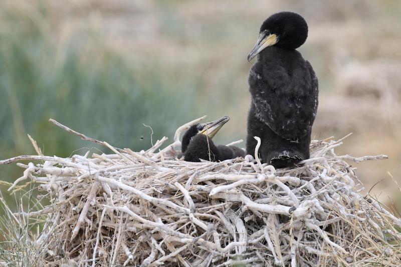 Kormoran-Küken (Phalacrocorax carbo; Foto: Jonas Kotlarz)