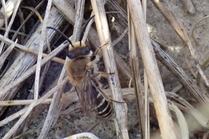 Seidenbiene (Colletes sp. vermutlich halophilus) in der Düne (Foto: Jonas Kotlarz)