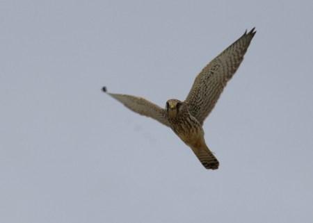 Turmfalke (Falco tinnunculus; Foto: Jonas Kotlarz)
