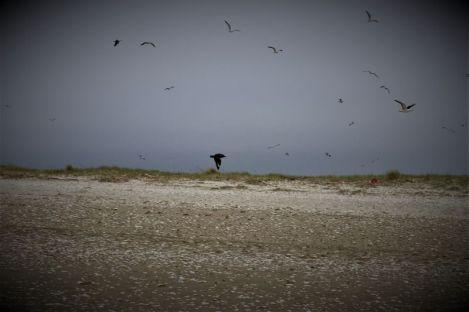 fliegende Skua (Foto: A. de Walmont)