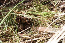 gut versteckt: Rotschenkelgelege (Foto: A. de Walmont)