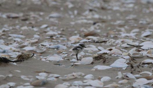 Sandregenpfeiferküken (Foto: A. de Walmont)