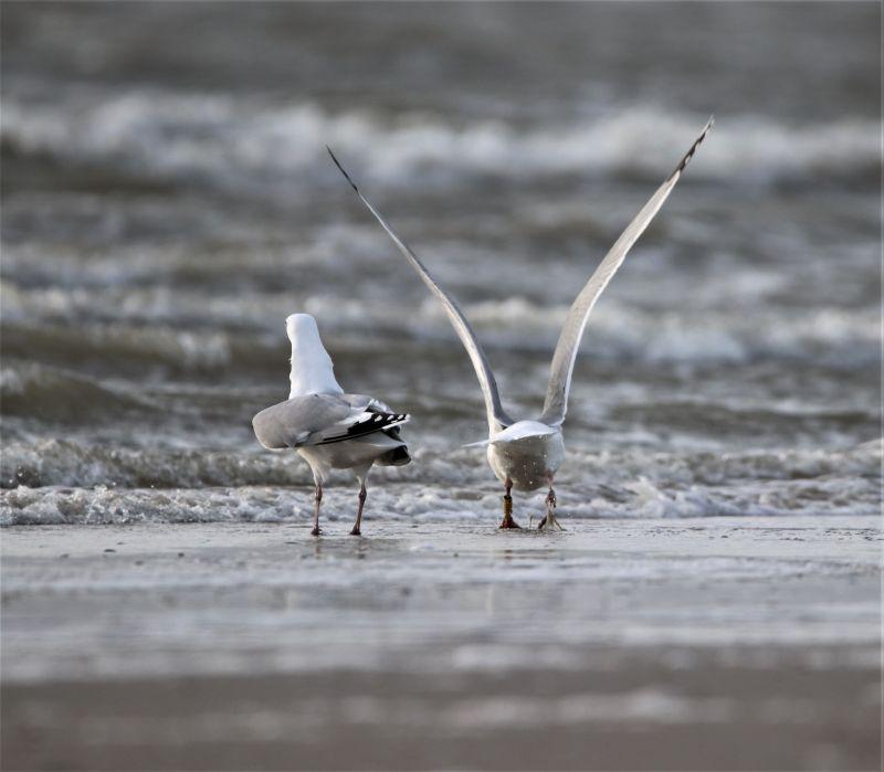 Brutvogel: Silbermöwe