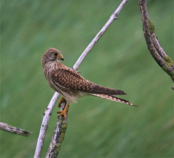 ungewohnter Besuch im Singvogellockgebüsch: ein Greif (Foto: A. de Walmont)