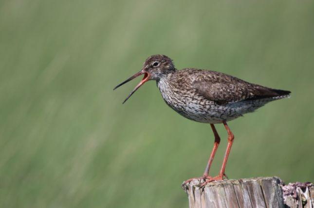 warnender Altvogel (Foto: A. de Walmont)