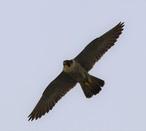 zum Vergleich: Altvogel. Weibchen mit Ring (Foto: A. de Walmont)