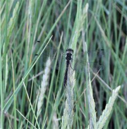 Schwarze Heidelibell (Männchen)