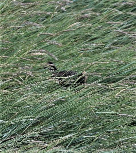 flüchtende Wasserralle (Foto: A. de Walmont)