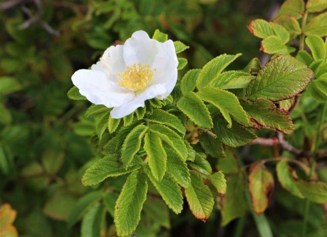 letzte Blüte der Kartoffelrose
