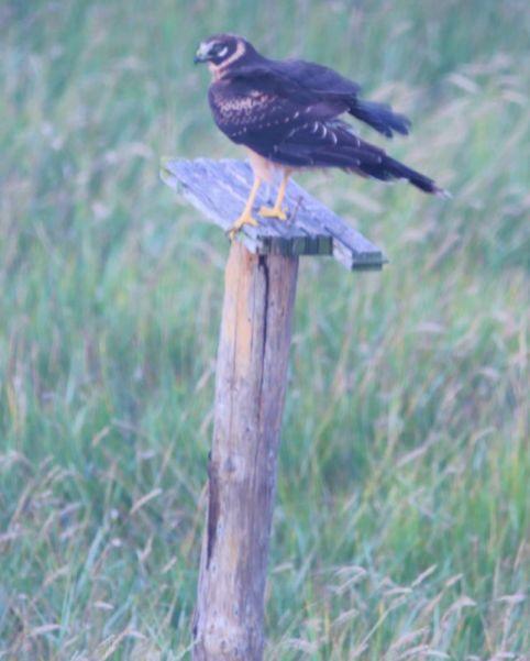 Landung auf Pfahl (Foto: A. de Walmont)