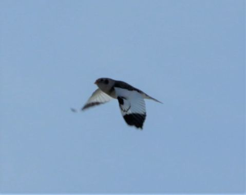 auffällige Flügel der Schneeammer (Foto: A. de Walmot)