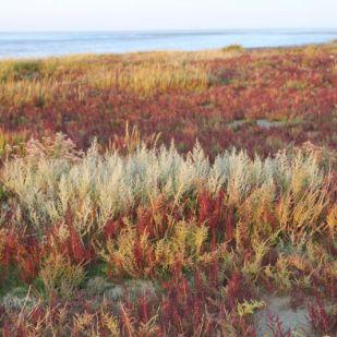 Strandsode und Queller färben sich rot