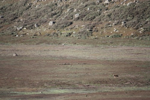 First sighting of the Ethiopian wolf. We sighted 2 of the ~550 left in existence