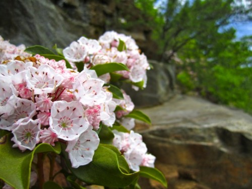 Mountain laurel, which blooms abundantly in the Blue Ridge Mountains in late spring and early summer.