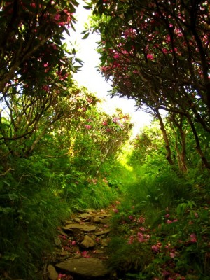 The trail cuts straight through the Rhododendrons.