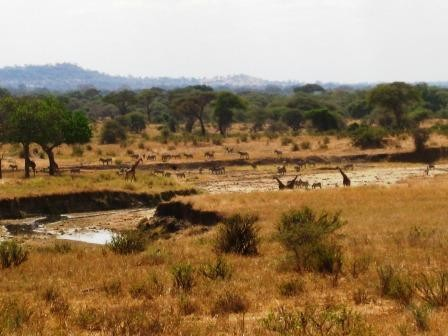 The herds at Tarangire River – one of the few places with year-round water