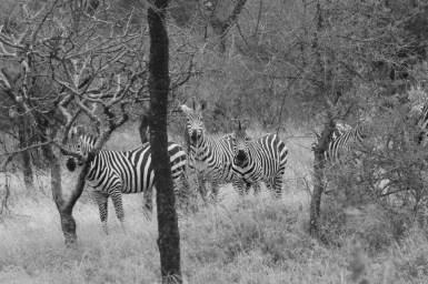 Zebra_Small