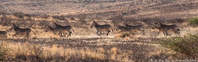 Mountain Zebras of Neuras