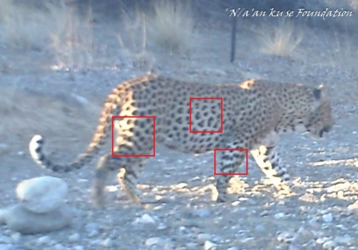 Leopard photographed with a camera trap on June 12 in the Tsauchab riverbed on the Neuras Wine & Wildlife Estate, Namibia.