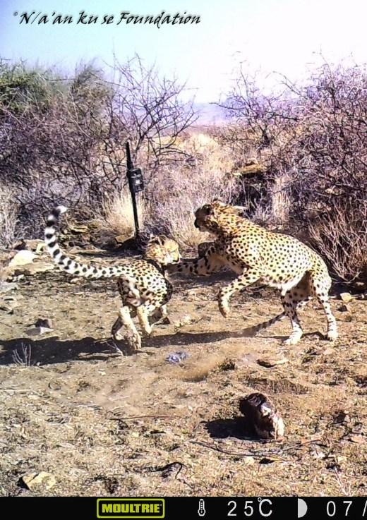 Two Cheetahs Play Fight, Neuras, Namibia