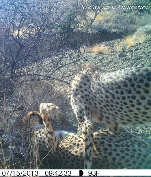 Two Cheetahs, Neuras, Namibia